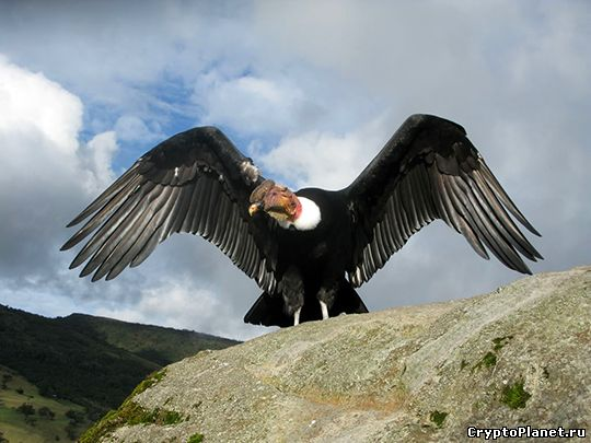 фото птица кондор